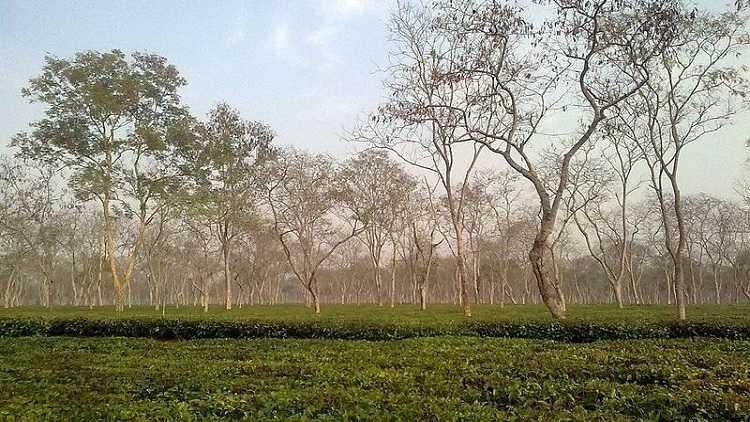 Tea plantation in Sonitpur, Assam