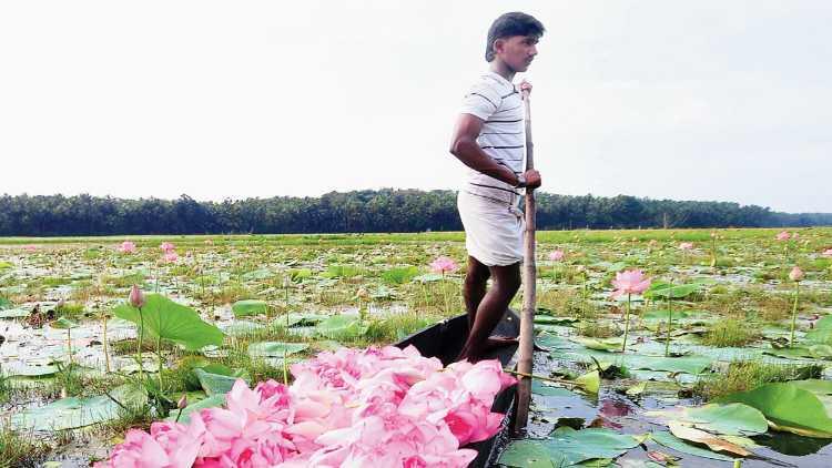 A Lotus farmer in his field